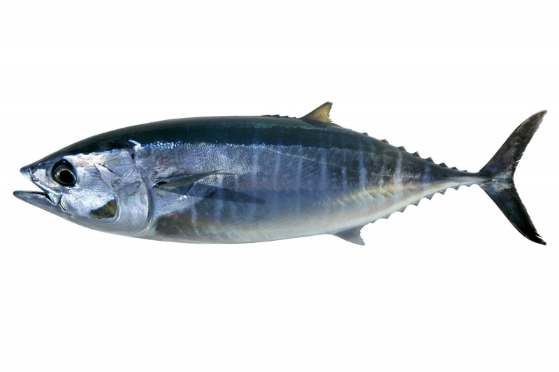 Tuna fish for Tuna fish can